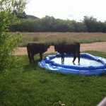 Even cows like pool parties!