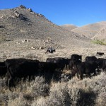 Moving cattle up Little Cottonwood
