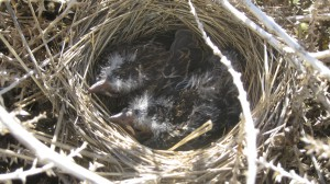 Nestlings in a tumbleweed home