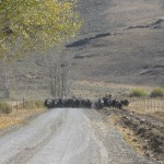 Trailing cattle home from the forest