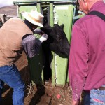 Tagging the cattle